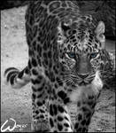 Amur leopard walks to my life