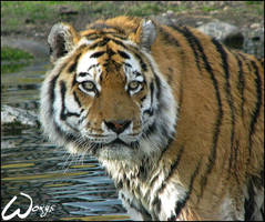 Tiger: is this Amur river? by woxys