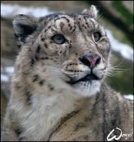 Snow leopard dreams... by woxys