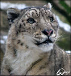 Snow leopard dreams...