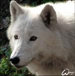 Arctic wolf - Alex or Clair?