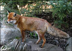 Red fox is so curious