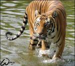 Malayan tiger loves water