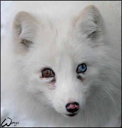 Arctic Blue Eyes
