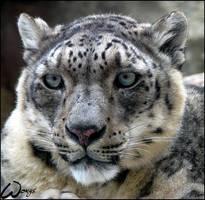 Snow leopard, uncia uncia by woxys