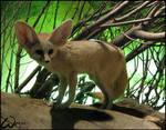 Fennec fox - visit from space