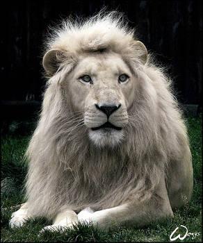 Haldir, the white lion