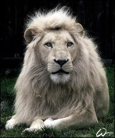 Haldir, the white lion by woxys