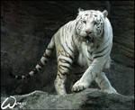 White tiger's dance lesson