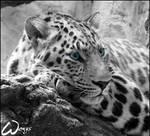 Amur leopard: sad blue eyes