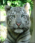 White tiger cub: angel look