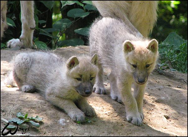 Arctic wolves pups