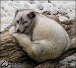 Arctic fox: sleepy wink
