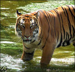 Great bath for Malayan tiger