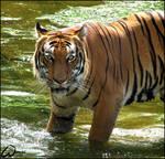 Great bath for Malayan tiger