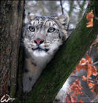Dreaming snow leopard