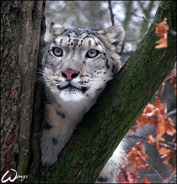 http://fc03.deviantart.net/fs49/f/2009/158/6/b/Dreaming_snow_leopard_by_woxys.jpg