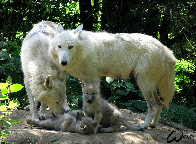 Les loups Pups_and____What__Two_moms_____by_woxys