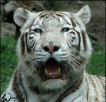 White Bengal tiger mommy