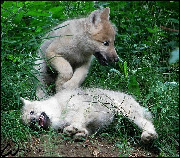 Crazy arctic wolves pups