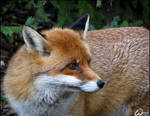 Red fox: looking back