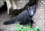 Black baby arctic fox