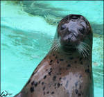 Harbor seal: hello for Lunchi