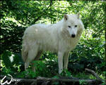 Arctic wolf: are you a friend?