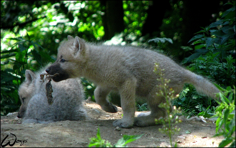 Wolf pup: what a leaf I have