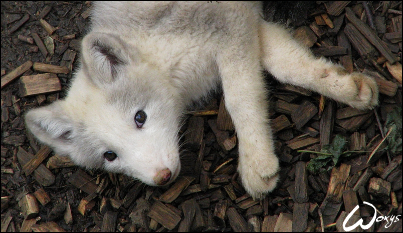 White Arctic Fox Pup By Woxys On Deviantart