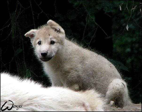 Baby wolf: ears flying away