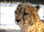 Cheetah Indy