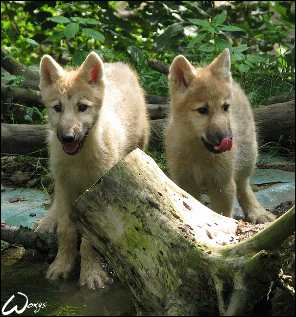 Arctic wolves pups and lake