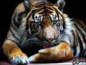 Sumatran tiger Dua by woxys