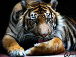 Sumatran tiger Dua