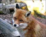 Bystrouska the red fox