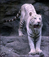 White Bengal tiger: a good guy by woxys