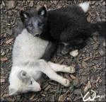 Baby arctic fox: murder?