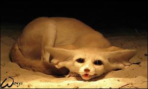 Fennec fox: cuteness song