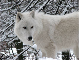 Arctic wolf: Winter dreaming by woxys