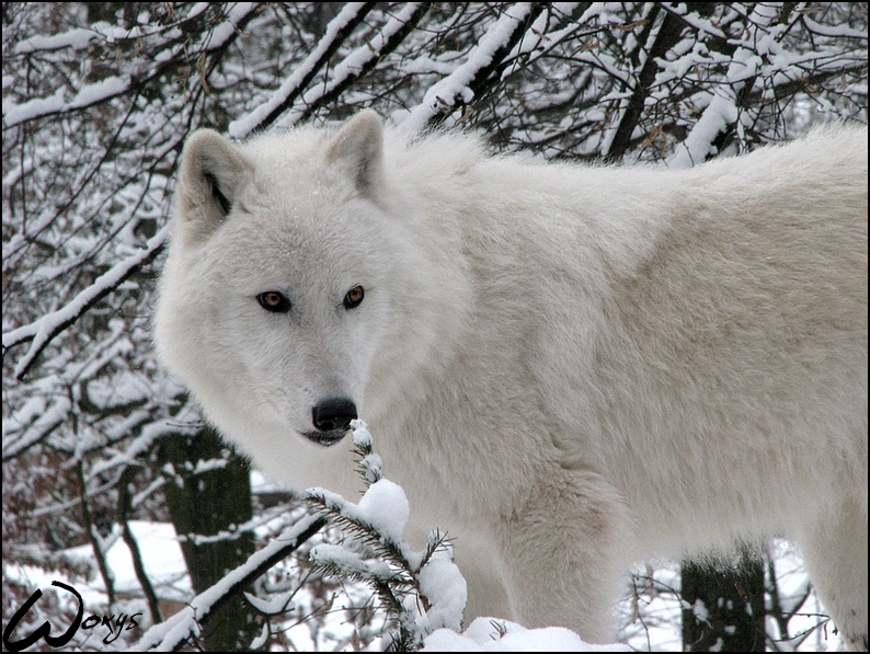 Arctic wolf: Winter dreaming