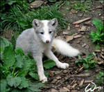 What a baby arctic fox