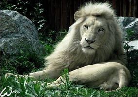 As white as a.... lion by woxys