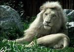 As white as a.... lion