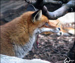 OMG, red fox eating other fox?