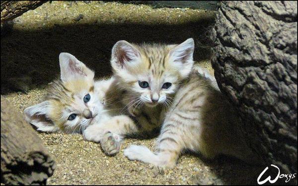 Where Can I Buy A Arabian Sand Cat