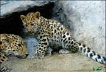 Extra rare baby Amur leopard