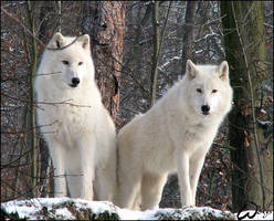 Arctic wolves: Shining by woxys