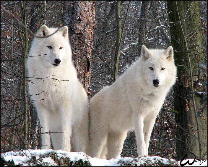 Фото красивый волк