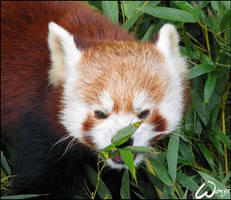 Red panda not the communist by woxys